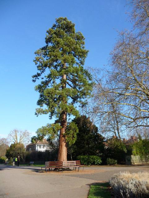 Redwood Tree, Enfield Town Park