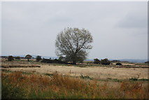TQ7178 : A tree on Cliffe Marshes by N Chadwick