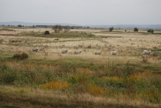 Sheep, Cliffe Marshes
