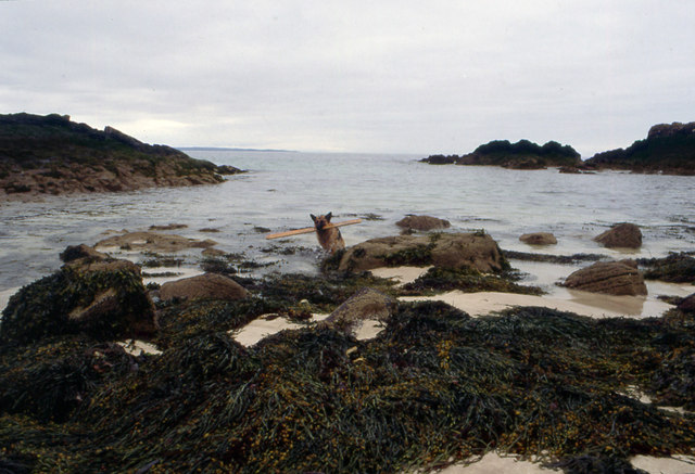 Seaweed covered rocks and wet GSD by Clachtoll
