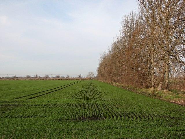 Dark fen soil and winter wheat