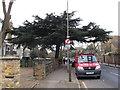 TQ4077 : The Blackheath cedar by Stephen Craven