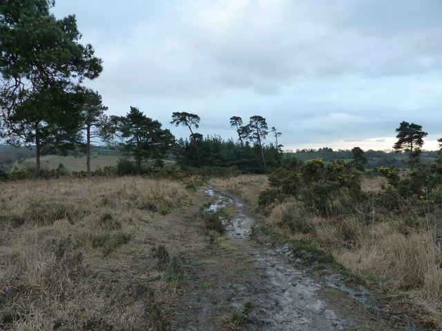 Millbrook Clump Ashdown Forest