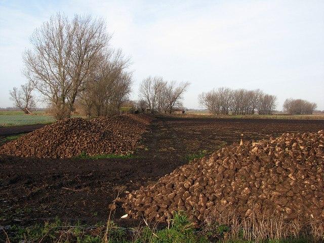 Beet piles at New Drove