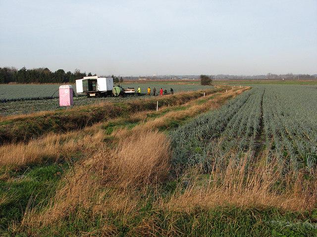 Picking leeks near Joist Farm