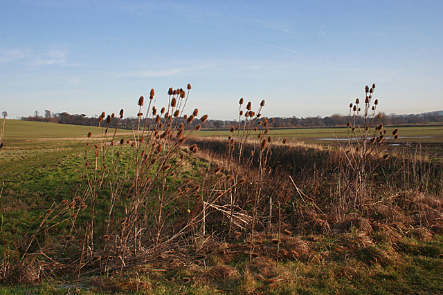 Teasels by the Floodplain