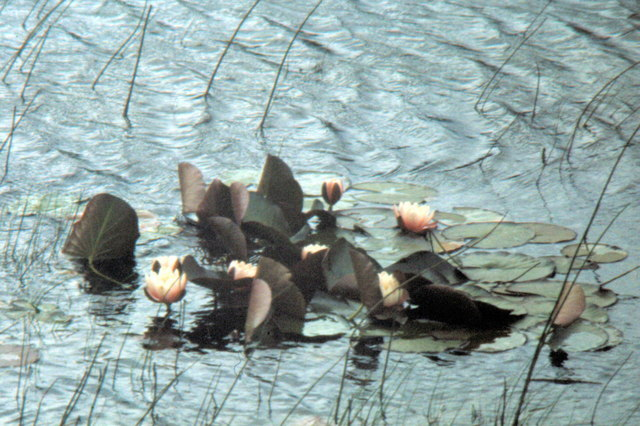 Water Lilies - 1981