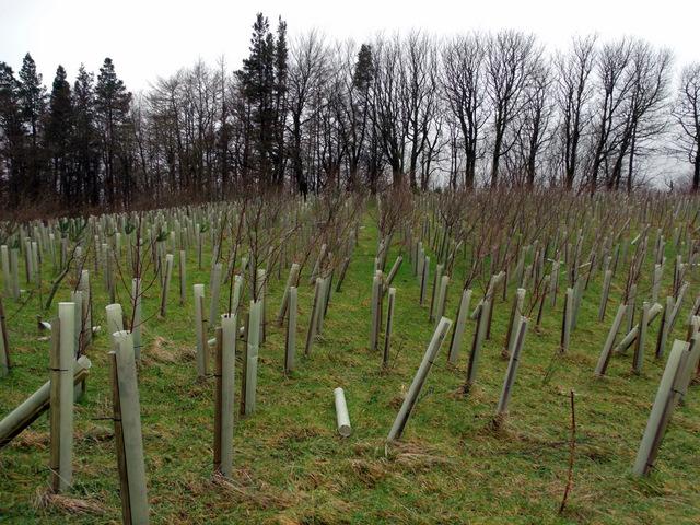 Saplings at Berferm Plantation