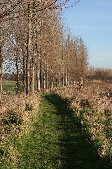 Poplars by the Path