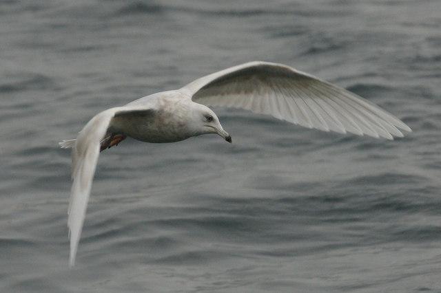 Iceland Gull (Larus glaucoides), Baltasound