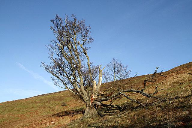 A damaged tree on Foulshiels Hill