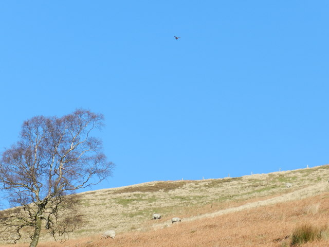 Kestrel and sheep; Cold Side