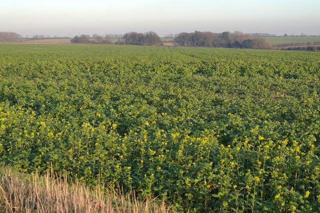 Oilseed Rape Field on Wootton Dale