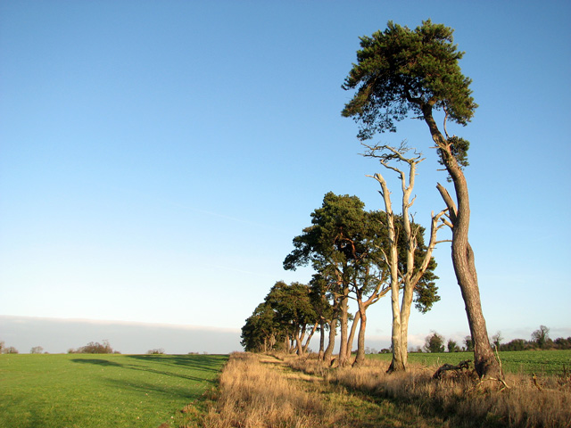 Tall pine trees growing on field boundary