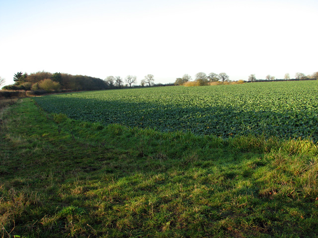 Field margin and oilseed rape crop, Swaffham