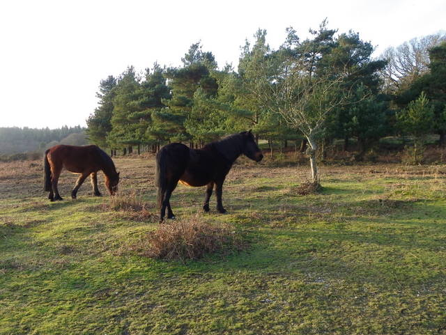 New Forest ponies near Cadman's Pool