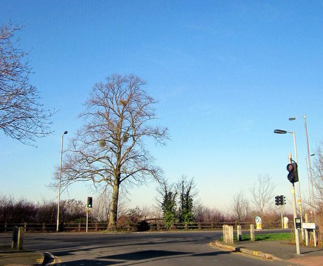 Mistletoe in Tree A38 Perdiswell