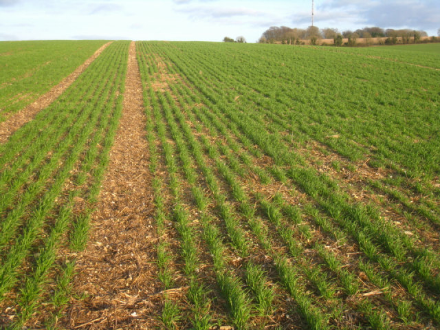 Winter crop - Stubbington Down