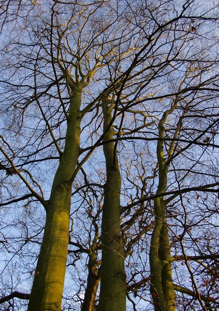 Beech trees in winter, Conduit Wood: looking up into the canopy
