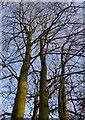 TQ1973 : Beech trees in winter, Conduit Wood: looking up into the canopy by Stefan Czapski