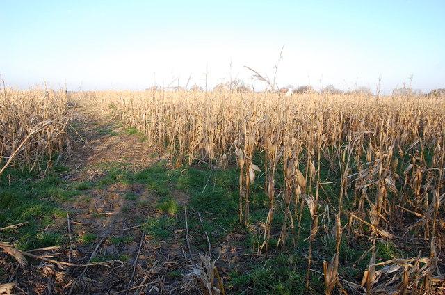 Sweetcorn field in Winter
