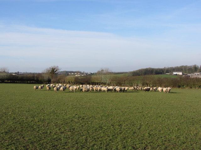 Sheep near Llanblethian