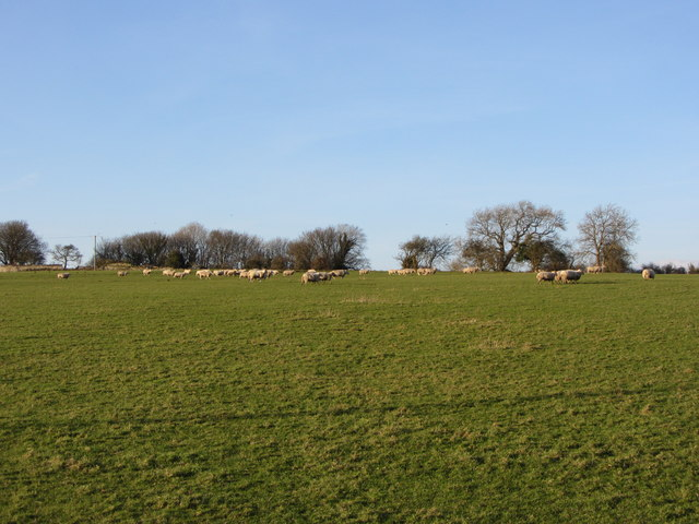 Sheep and fields near Llandough