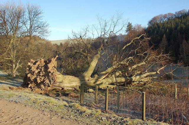 Fallen tree, Newby