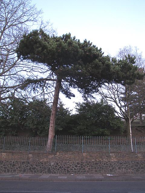 Pine tree on Wickham Lane