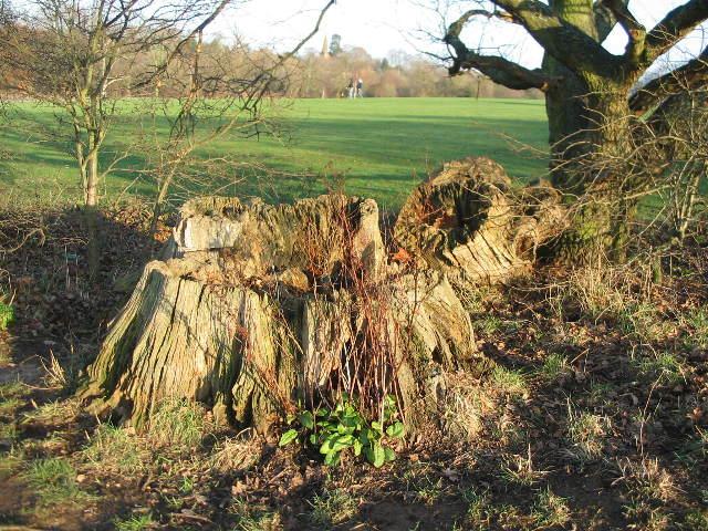 Tree stump, Allesley Park