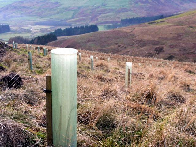 New forestry plantings on Kocklaw Knowe