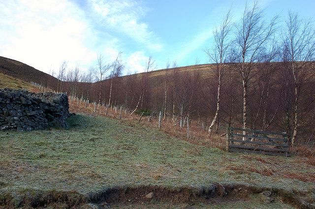 Birch plantation, Glen Sax