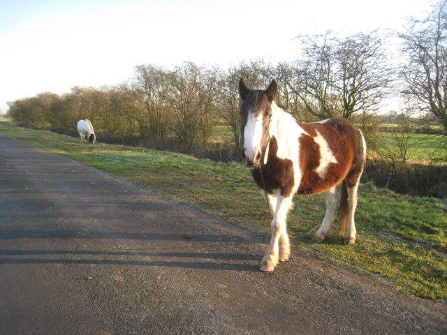 Horses being grazed on Black Syke Lane