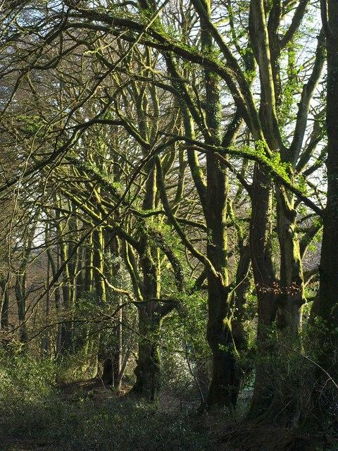 Beech trees near Salter's Cross