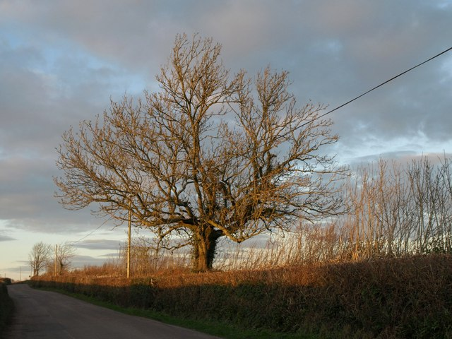 Tree by the lane to Branscombe Cross