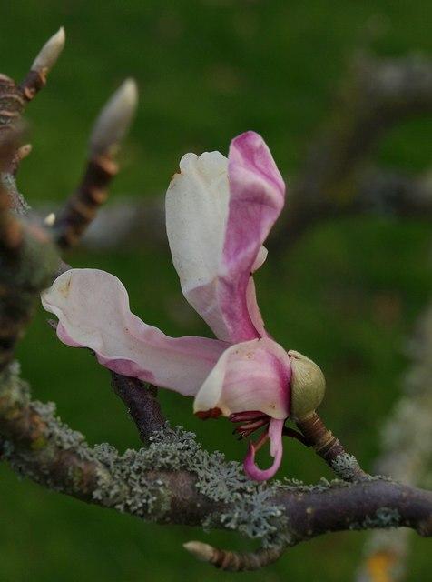 Magnolia, Tessier Gardens