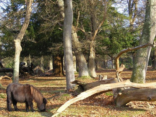 Shetland Pony near Ladycross Lodge
