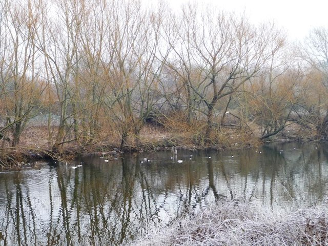 Goosander and tufties on the River Aire