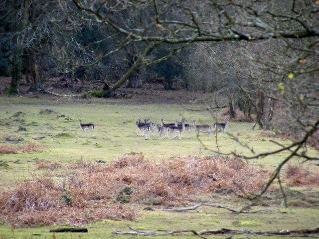Deer in Frame Wood