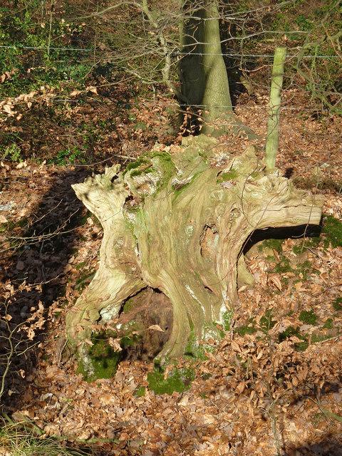 Gnarled tree stump, Browns Lane