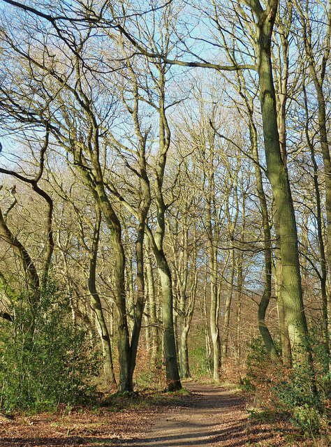 Browns Lane - tall bare trees
