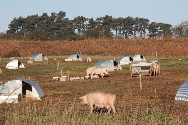 Allamoor Farm pigs