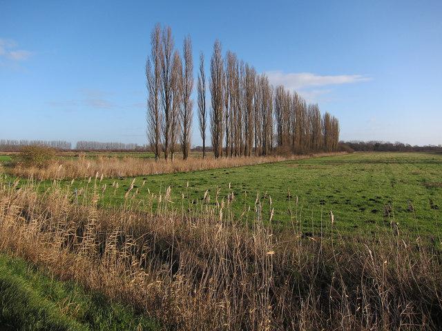 Poplars windbreak
