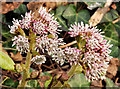 J4080 : Butterbur flowers, Holywood by Albert Bridge