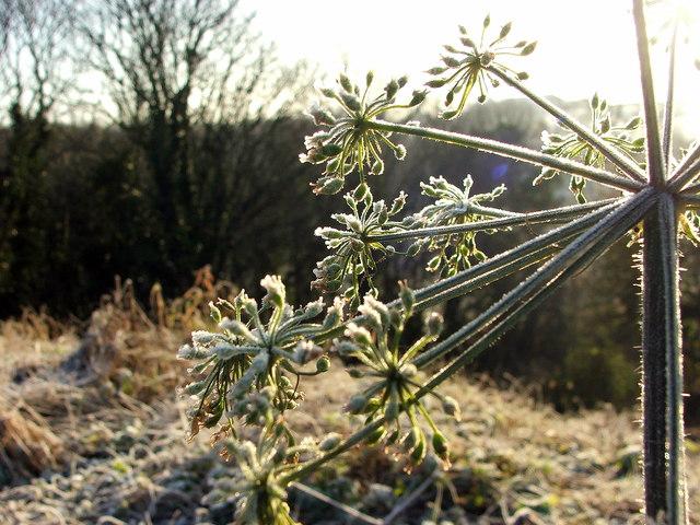 Winter Hogweed