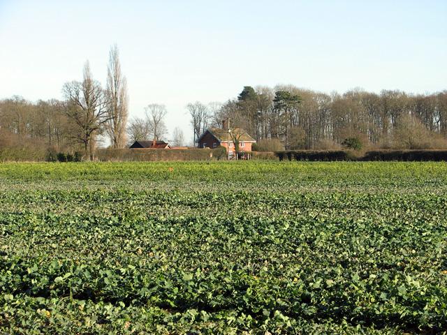 Oilseed rape crop, Easton