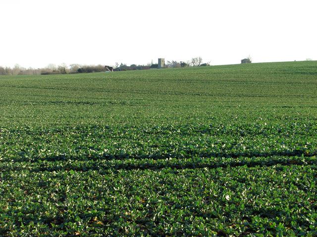 Oilseed rape crop near Kettleburgh