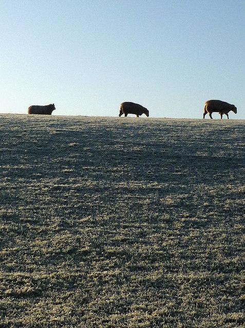 Sheep on Castle Slack, Ousby