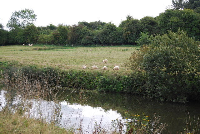 Sheep by the River Medway