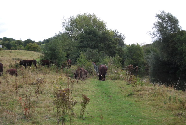Cattle on the Medway Valley Walk
